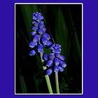 grape hyacinth case by dedmanshootn