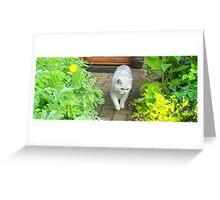 Black-Tipped British Short Hair Cat Greeting Card