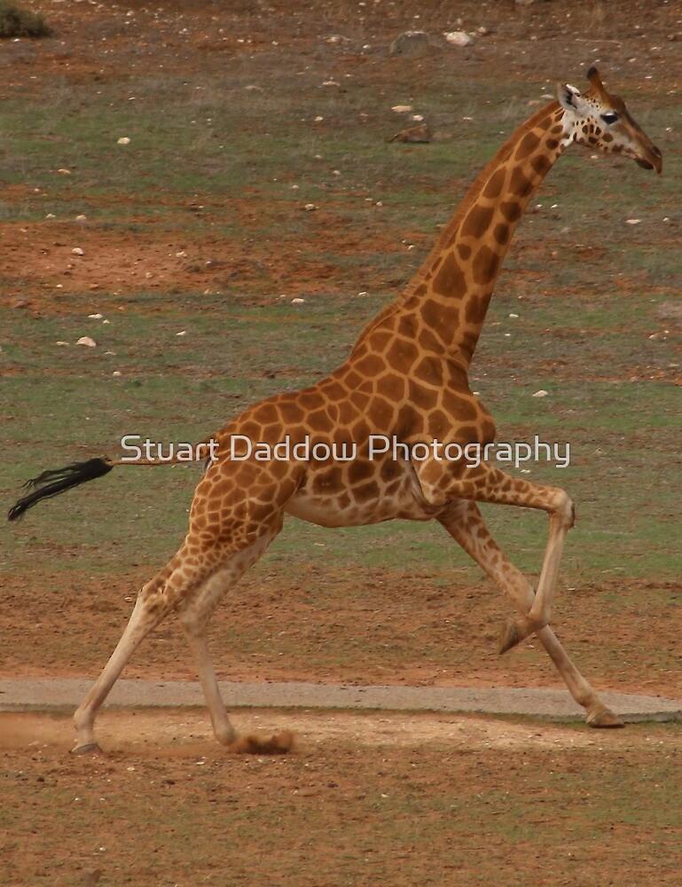 Run Giraffe Run by Stuart Daddow Photography