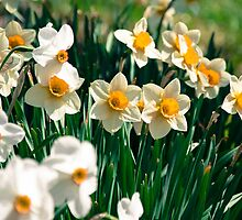 Sea of Daffodils by Heidelberger Photography