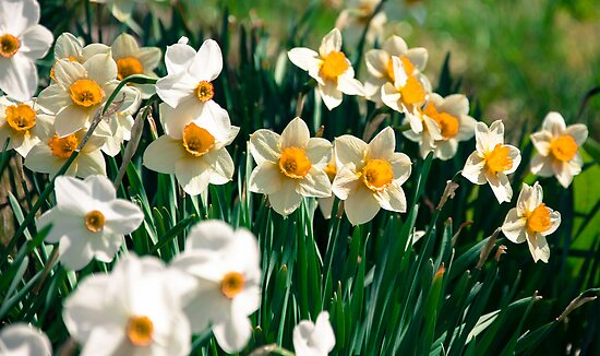 Sea of Daffodils by Claudia Heidelberger