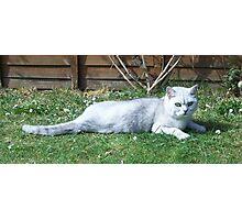Black-Tipped British Short Hair Cat Photographic Print