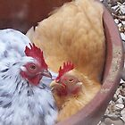 Pekin Bantam Hens Dustbathing by Dionne Meade