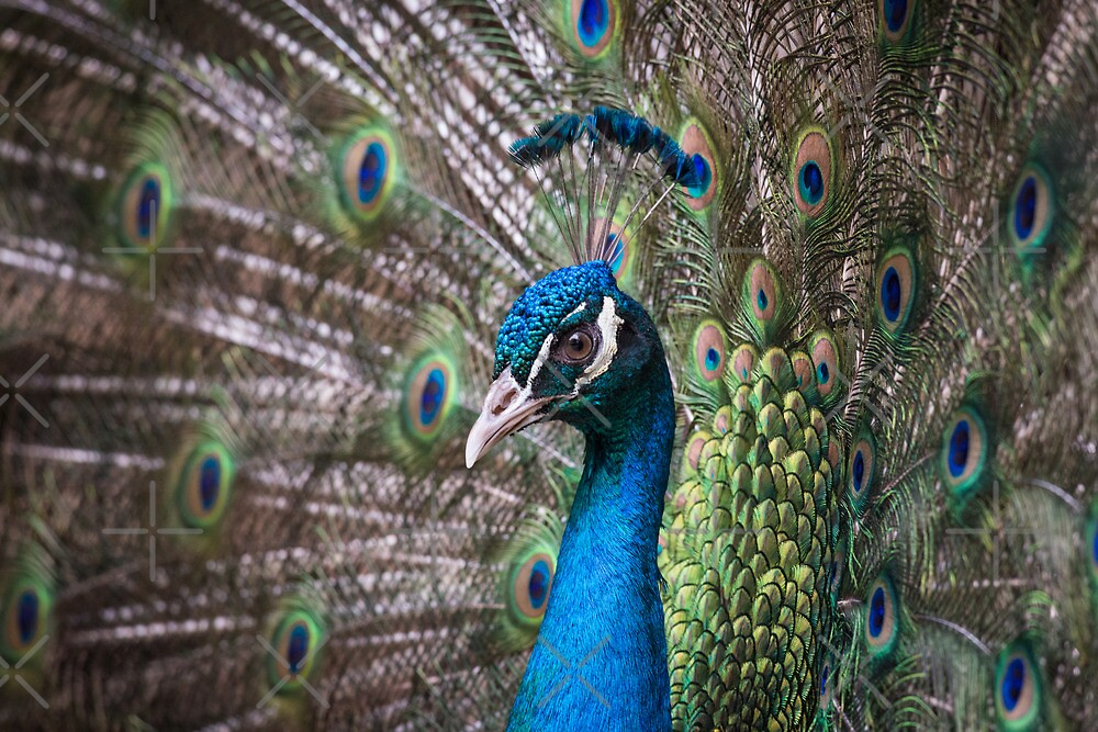 Peacock  by M-A-K