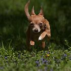 Chihuahua Treat time by Tom Clark