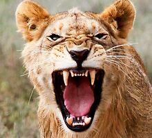 Not so ferocious  -  just a yawn by john  Lenagan