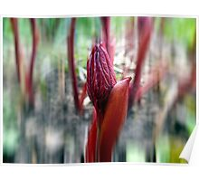 Paeonia Shoots Poster