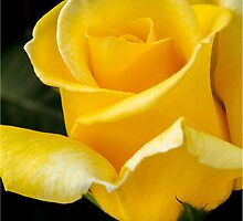 Yellow Rose by RichardBlanton