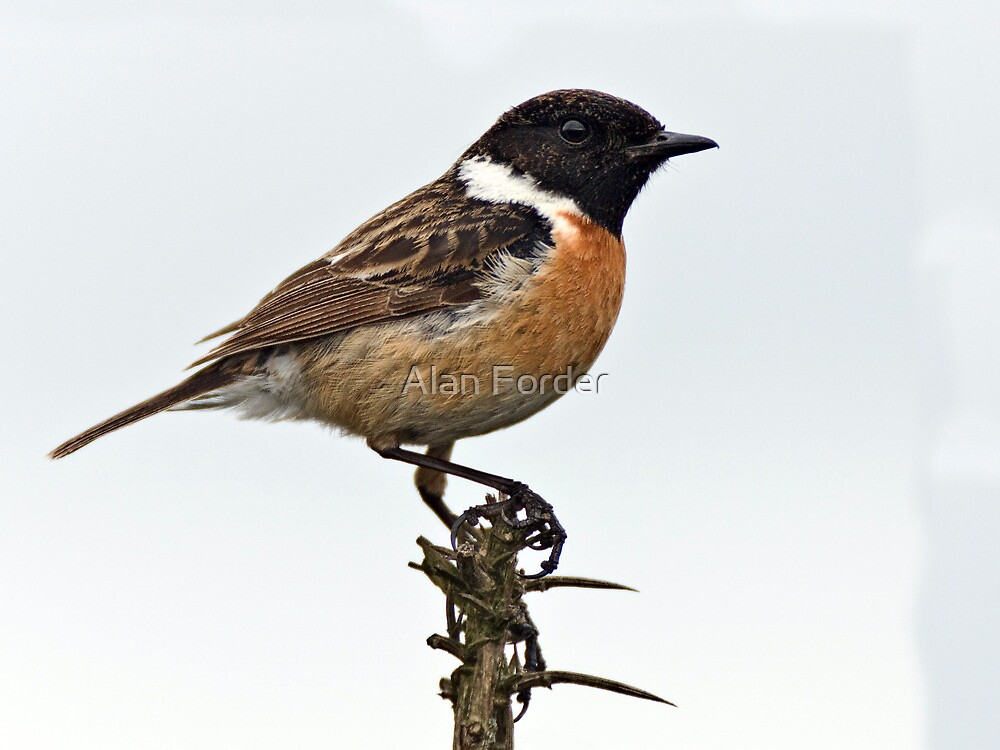 Stonechat  (male)  by Alan Forder