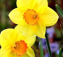 Dainty daffodils by missmoneypenny