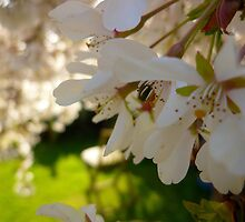 Cherry Blossoms by Antoinette B