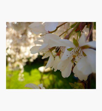 Cherry Blossoms Photographic Print