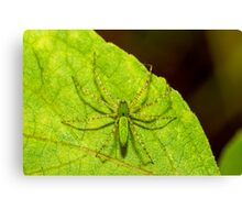 Green Lynx Spider Canvas Print