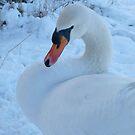 Swan in snow by Pauline-W
