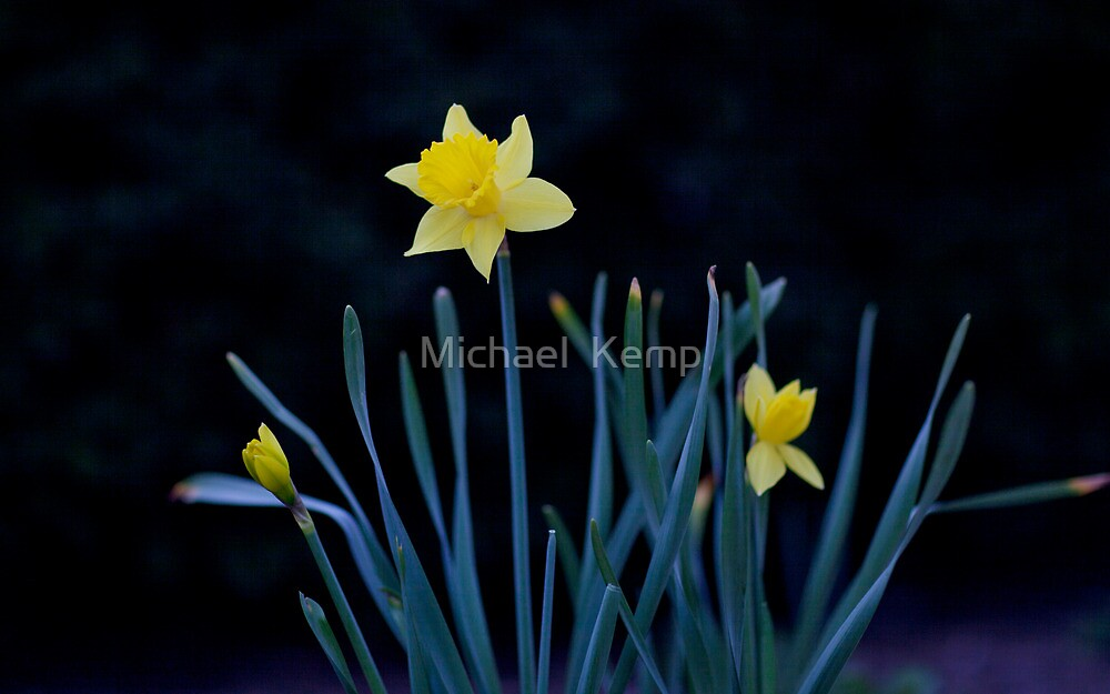 Lone Daffodil by Michael  Kemp