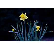 Lone Daffodil Photographic Print