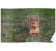 Squirrel Snacking Poster