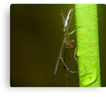 Long-Jawed Spider (Tetragnatha sp.) Canvas Print