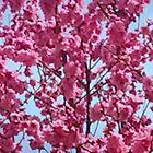 Pink Spring by kahoutek24