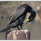 Doubled-crested Cormorant 6 of 6 by Betsy  Seeton
