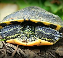 Shelled Turtle by musicguy2341
