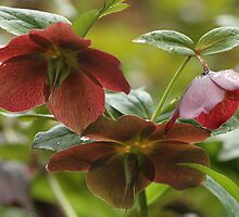 Hellebores in Spring by Verna  Perry