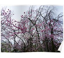Blooms on bare trees Poster
