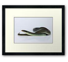 Blue Racer (Coluber constrictor foxii) Framed Print