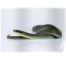 Blue Racer (Coluber constrictor foxii) Poster
