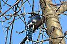 Bluebird of Happiness by Greg Belfrage