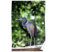 Blue Heron perched Poster