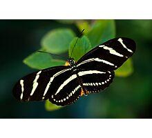 Zebra Butterfly  Photographic Print