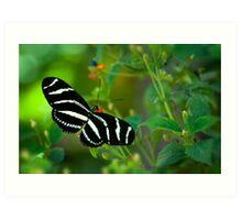 A Zebra Longwing Butterfly  Art Print