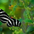 A Zebra Longwing Butterfly  by Saija  Lehtonen