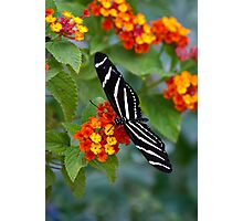 A Zebra Longwing on Lantana  Photographic Print