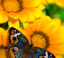 Buckeye Butterfly in all it's Beauty  by Saija  Lehtonen