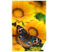Buckeye Butterfly in all it's Beauty  Poster