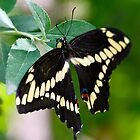 Giant Swallowtail Butterfly  by Saija  Lehtonen