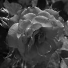 Desert Rose by Adam Kuehl