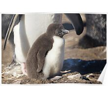 Rockhopper Penguin Chick, Falkland Islands Poster