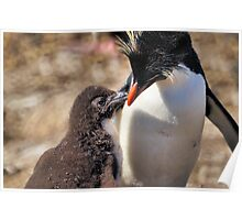 Rockhopper Penguin feeding Chick, Falkland Islands Poster