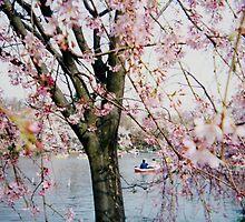 Cherry blossom by juliaweston