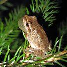 baby male tree frog by LoreLeft27