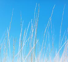 Golden Grasses against a Clear Blue Sky by Natalie Kinnear