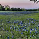 A Field of Bluebonnets - Texas by aprilann
