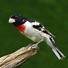 Rose-breasted Grosbeak by Janice Carter