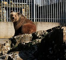 bear in a cage by mkokonoglou