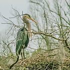 Heron Nesting   by Mary Campbell