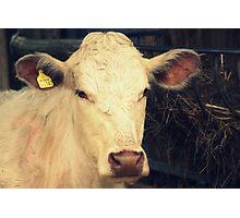 mr. cow Photographic Print