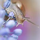 Snail on Grape Hyacinths by Bob Daalder